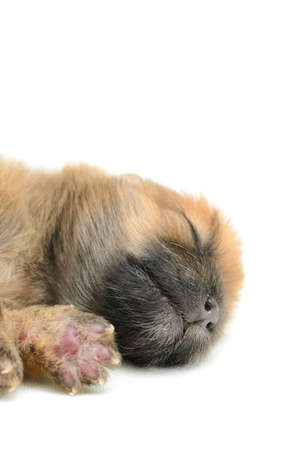 Birth puppy sleeping on white background Banco de Imagens