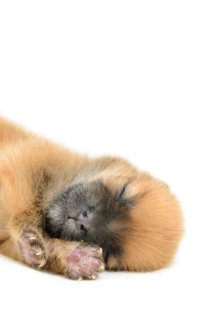 sleeping puppy on white background