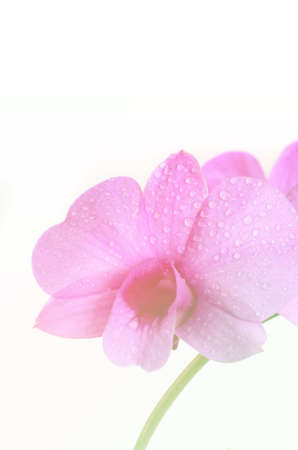 Soft abstract orchid on white background