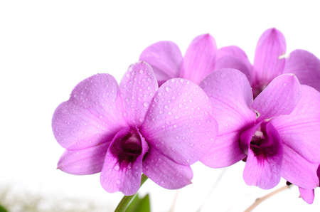 water drop on purple orchid, white background