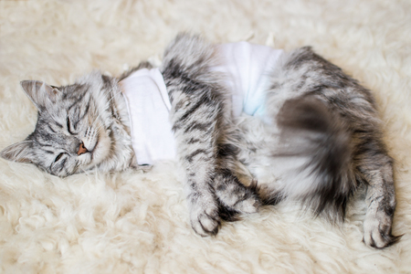 Cat with bandages recovering from surgery for sterilization