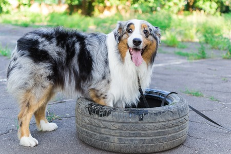 Australian shepherd playing in nature with a rubber wheel from the car.