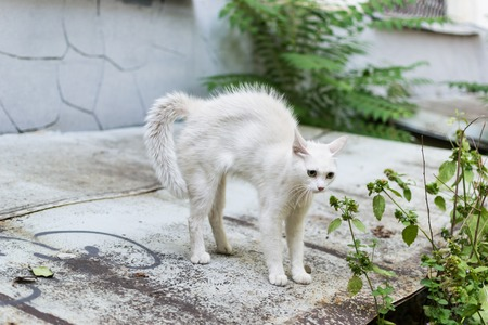 A white stray cat feels threatened and makes a hunchback. Cat rounded defending.