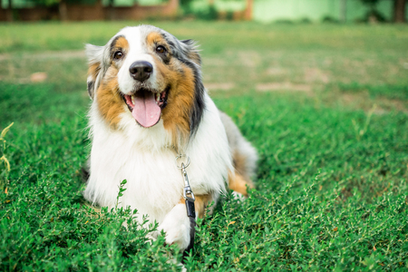 the Australian shepherd has a rest in nature. posing at the camera.