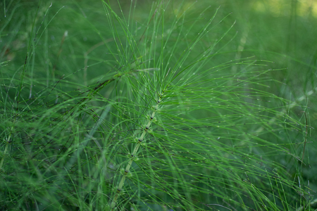 green plant with very thin stems and leaves. grass looks like centipede. grass like the legs of an insect.