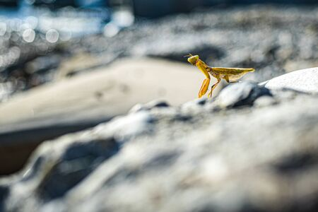 yellow mantis posing on a rock against the sea. blurred background.