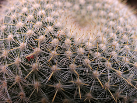 spines: Close up shot of round cactus covered with sharp spines