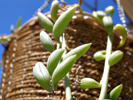 close up shot of hanging plant in straw basket
