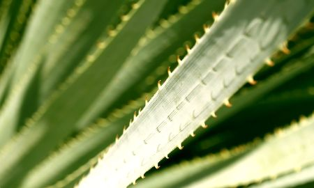 close up of elongated leaves with thorns