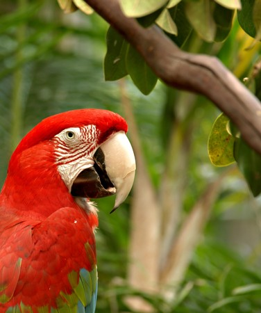 Closeup of  Red parrot against leaves