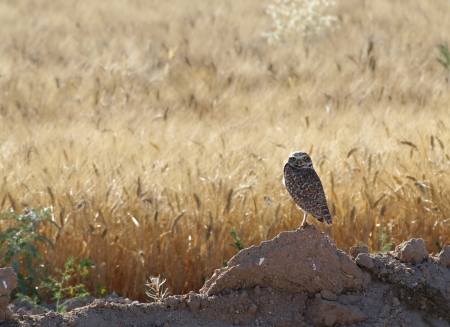 ourdoor: An owl out on the fields in the sun