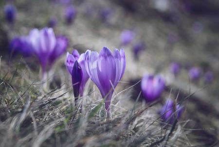 View at sunlit purple crocus flowers in spring