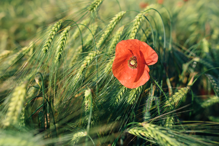One red poppy in a wheat field. Macro photo of a red flower in summer.