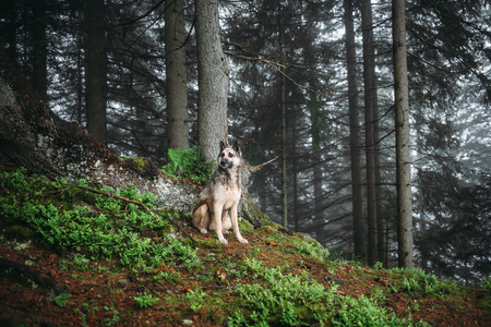 Dog sits in a mystical forest. Vintage look. Dog walking outdoors in a forest 版權商用圖片