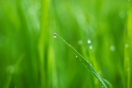 Macro photo of green grass in the morning with dew drops