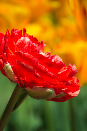 Close-up of a beautiful red tulips. Natural background. Garden plant. Spring.