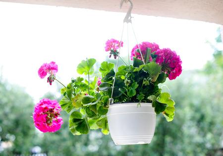 Outdoor flowerpot  Pink flowers in white hanging flower pot