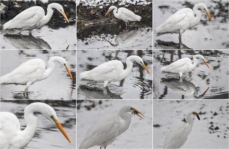 Great egrets in winter landscape. Bubulcus ibis stands in water and fishing