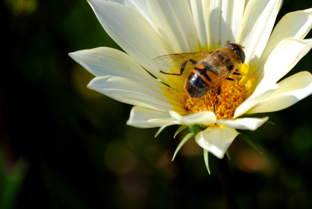 trabajo: Bee on a flower with blurred background Stock Photo