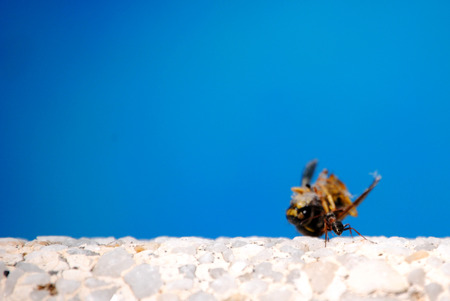 trabajo: Ant carrying a hornet with blue sky background