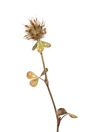 trifolium: Clover