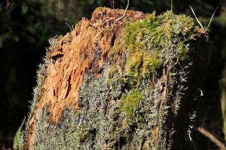 Rotten tree trunk