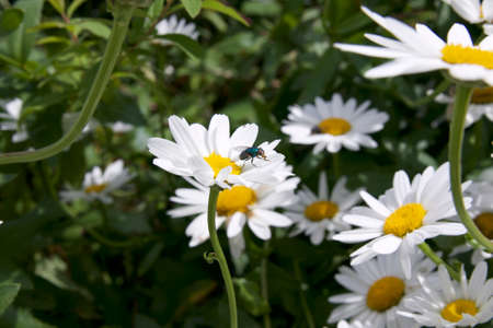 Michaelmas daisy with fly
