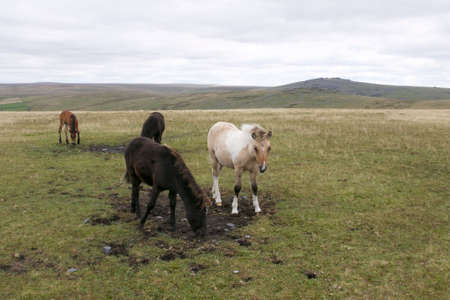 Young Foals on Dartmoor