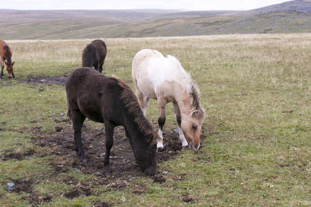 Foals grazing on Dartmoor