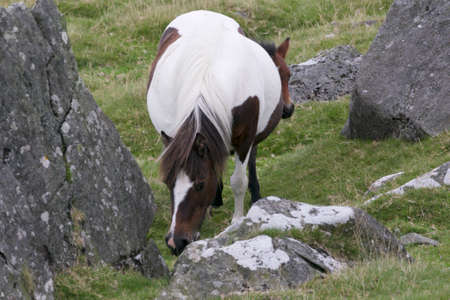 Dartmoor Mare and foal