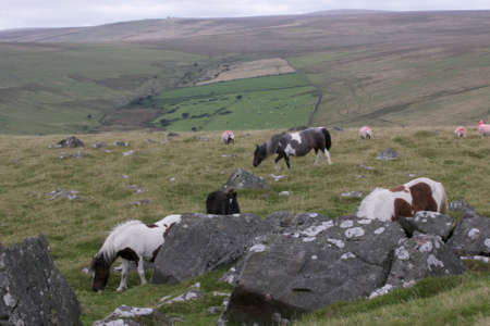 Group of Ponies on Dartmoor National Park
