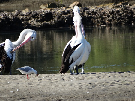 prowl: Pelicans on the prowl