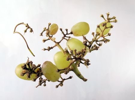 Grapes left on a vine after the beast have been eaten.
