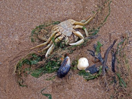 A dead crab on the high tide line.