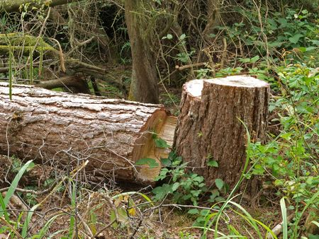 Chopped down tree left to attract wildlife in a British wood.