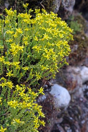 Biting stonecrop, (Sedum acre) on a wall in England. Stock Photo