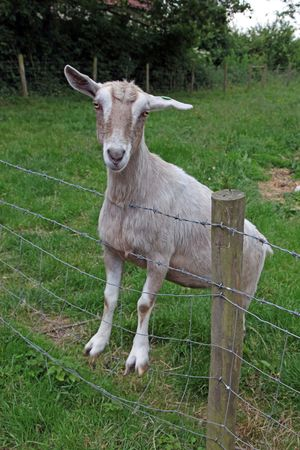 Close up of a goat on a fence.