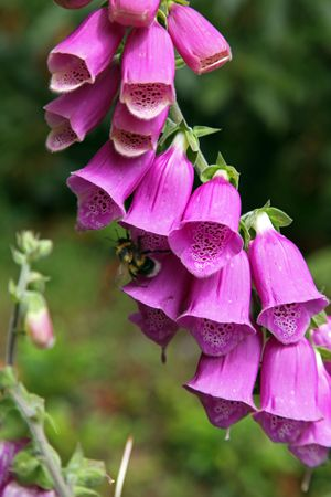 Foxgloves growing in a wood.  North Norfolk, England Stock Photo