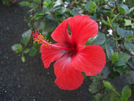 Red Hibiscus, as seen in many tropical gardens.
