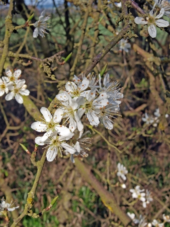 Hawthorn (Crataegeus monogyna) flowers in Brampton wood. Brampton wood is 327 acres and the second largest wood in Cambridgeshire. The first records are in the Doomesday Book of 1086 AD. In 1954 it was declared a site of Special Scientific Intrest. It is  Stock Photo