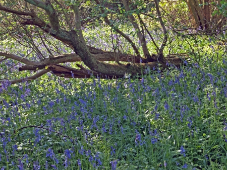 Bluebells (Scilla non-scripta) in Brampton wood. Brampton wood is 327 acres and the second largest wood in Cambridgeshire. The first records are in the Doomesday Book of 1086 AD. In 1954 it was declared a site of Special Scientific Intrest. It is free to