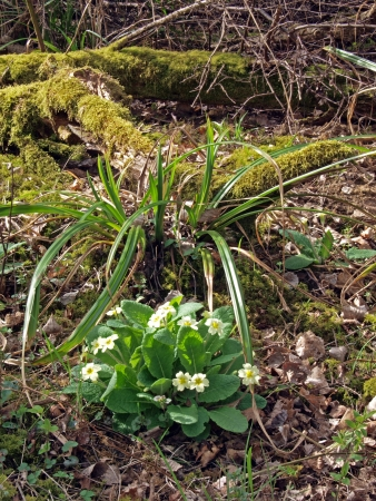 intrest: Wild woodland Primrose (Primula Vulgaris).  in Brampton wood. Brampton wood is 327 acres and the second largest wood in Cambridgeshire. The first records are in the Doomesday Book of 1086 AD. In 1954 it was declared a site of Special Scientific Intrest. I