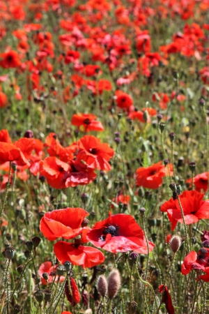 Red poppies growing in a field in Norfolk, England. photo