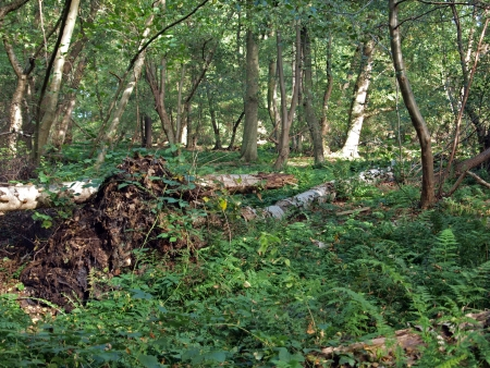 wasting away: Still today, 160 years after the drainage of the nearby Whitllesey Mere, evidence of the continuing wasting away of the peat can be seen in Holme fen woods . As the peat is still shrinking the roots of the trees become exposed, making them unstable. Many  Stock Photo