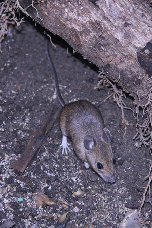 scavenging: Wild mouse scavenging for food in its natural surrounding.