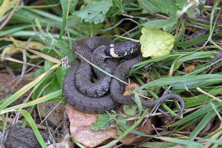 cold blooded: British grass snake basking in a sunny, sheltered position.