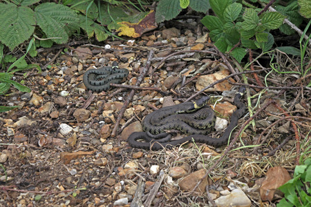 sheltered: British grass snakes basking in a sunny, sheltered position. Stock Photo