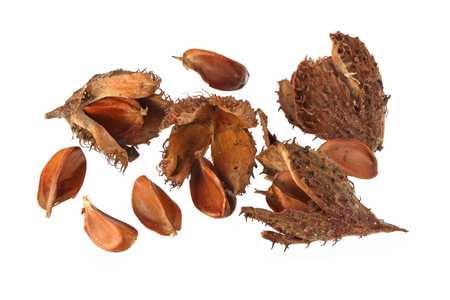 Beechnuts and husks on a plain white background. Stock Photo