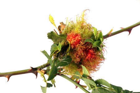 gall: Gall made for winter protection by a Rose Stem gall wasp. It is about the size of a golf ball.