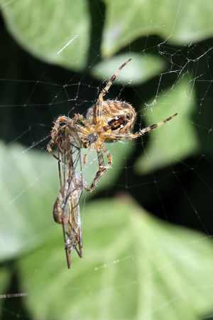 Close-up, macro photo of a spider on a web with its captured dragonfly.